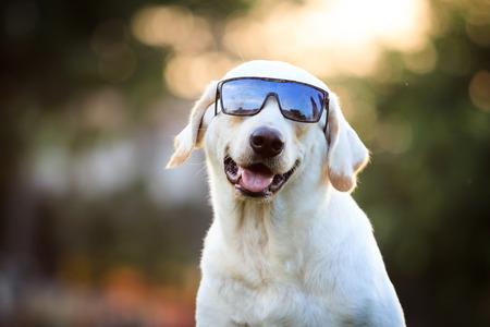 dog walking: The portrait of Labrador.