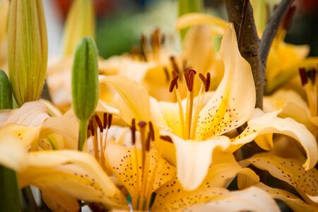 Lilli flower photo