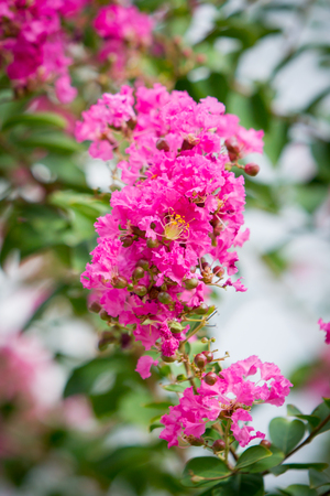 myrtle: Crape myrtle flowers close up.