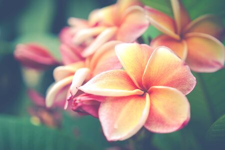 flare up: The beautiful Plumeria flowers with lighting flare close up background.Vintage filtered