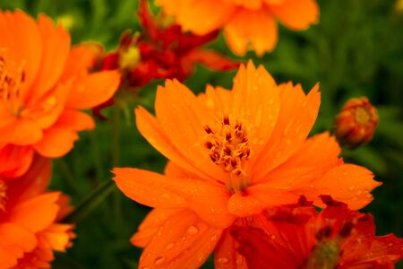 marigolds: The beautiful Marigolds garden.