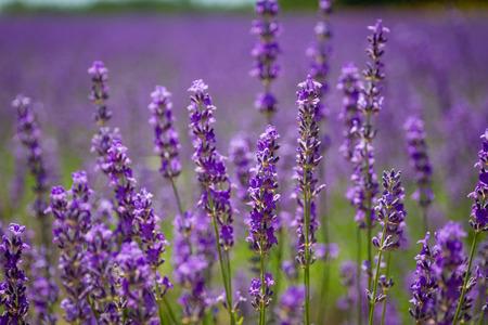 Beautiful Lavender garden in Hokkaido, Japan.