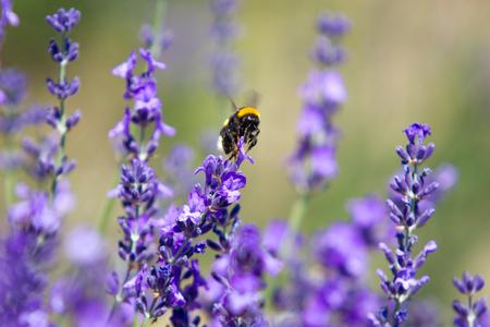 field mint: Lavender Stock Photo