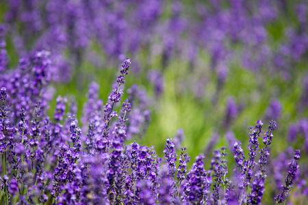 natural landscape: Beautiful Lavender garden in Hokkaido, Japan.