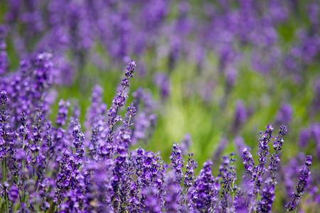campo de flores: Jard�n Lavanda hermosa en Hokkaido, Jap�n. Foto de archivo