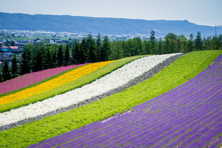 Beautiful Lavender garden in Fulano Hokkaido, Japan.