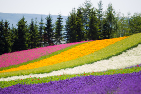 Beautiful Lavender garden and other in Fulano Hokkaido, Japan.