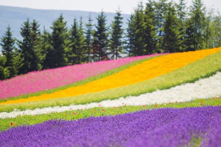 Flower garden field in Furano Hokkaido