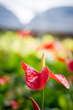 spadix: Beautiful spadix in garden close up.