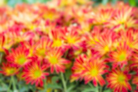Blur image of Thai chrysanthemum close up.