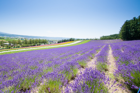 #63217106   Beautiful Lavender Garden In Fulano Hokkaido, Japan.