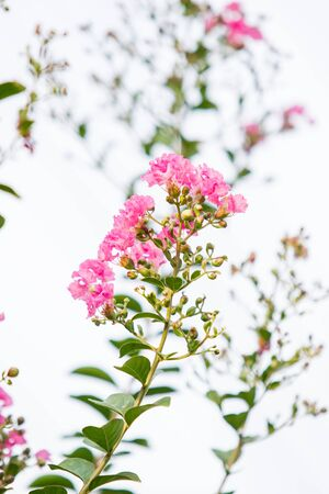 Image of lagerstroemia flowers close up. Stock Photo