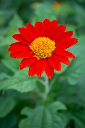 klondyke: The big red cosmos flower close up. Stock Photo