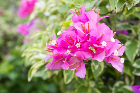 Beautiful purple bougainvillea close up background. Stock Photo