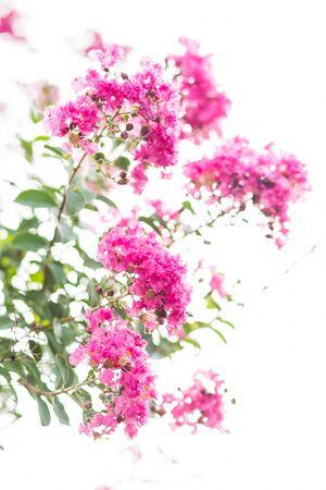 Image of lagerstroemia flowers close up. Zdjęcie Seryjne