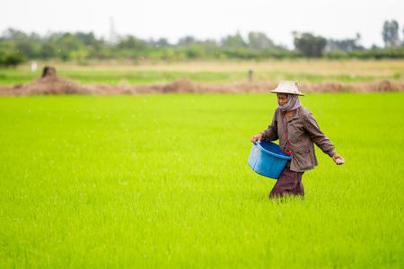 SUPHANBURI - THAILAND, 9 DEC 2018 : Photograph showing traditional Thai farmer feeding manure into jasmine rice field close up at Suphanburi province on December 9, 2018. Standard-Bild - 118674383