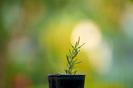 Little aromatic rosemary in a growth pot on green nature background. Beautiful small rosemary in a pot close up with copy space. Hobby while staying at home.