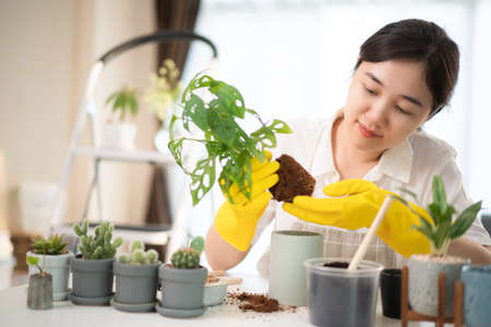 Cheerful happy Asian woman planting a small houseplant in the room close up, woman relocating the small monstera tree into the new pot. Asian girl planting a decorative plant in the house.