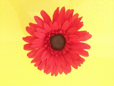 Red Daisy Flower on Yellow Background
