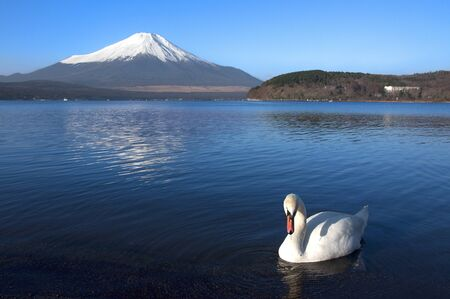 Mt Fuji and Swan Stock Photo