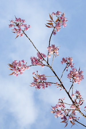 Thai Cherry Blossom Stock Photo