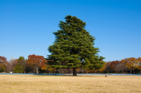 Big Tree, Showa Kinen Park Stock Photo