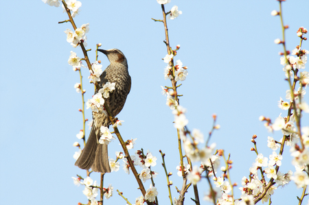 Bird and Plum Blossom, taken in Tokyo Japan Stock Photo
