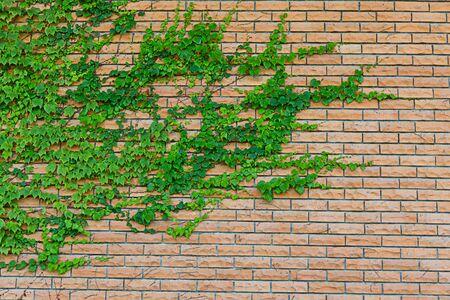 creeping plant: creeping plant on red brick-wall