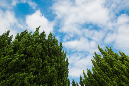 treetops: Treetops of two trees under the cloudy, blue sky