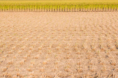 stubble: Rice field - stubble and chaff after harvesting. Stock Photo