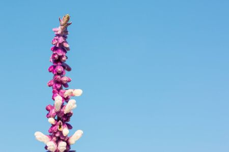 common snapdragon: Vertical flower copy-space concept  sky background.