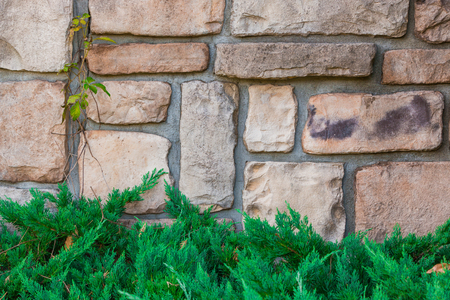 creeping plant: Old stone brick wall texture against creeping plant and pine.