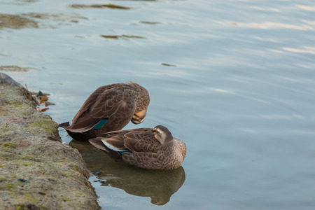two ducks: Two Ducks stand on riverbank.