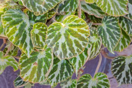 jewell: Begonia cv. Silver Jewell leaf in the garden for decoration home. Stock Photo