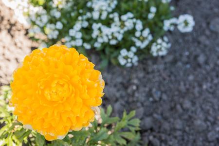 persian buttercup: Yellow persian buttercup flowers (ranunculus) in flower garden.