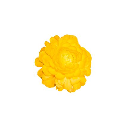 persian buttercup: Yellow persian buttercup flowers (ranunculus) isolate on white background.