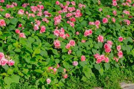 lizzie: Beautiful impatiens walleriana flowers with green leaf.