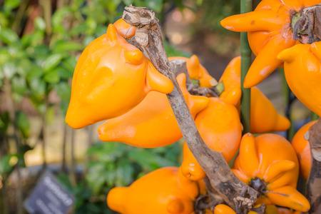 solanaceae: Fox face, Fancy eggplant, Nipple fruit, Titty Fruit, Cows Udder, Apple of Sodom, ox Face