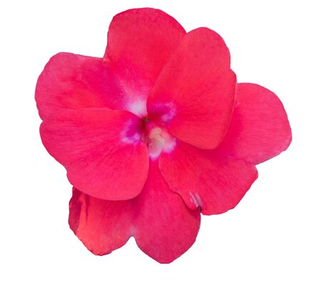 lizzie: Impatiens walleriana red flower on white background.