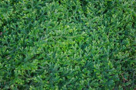 unfurl: (Dorothy Barton) small ferns green background. Stock Photo