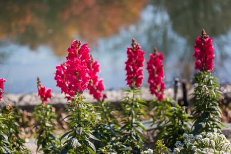plantaginaceae: Antirrhinum majus dragon in flower garden. Stock Photo