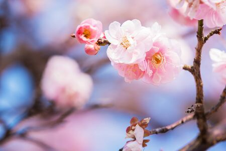 japanese apricot flower: Pink flower ume (Japanese apricot) blossoms on beautiful background. close up.