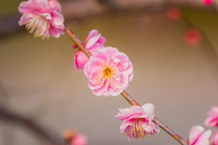 japanese apricot flower: Pink flower ume (Japanese apricot) blossoms on beautiful background Stock Photo