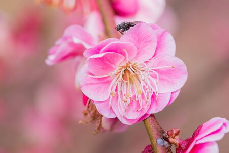 japanese apricot flower: Pink flower ume (Japanese apricot) blossoms with insect on beautiful background. close up.