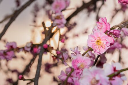 japanese apricot flower: Pink flower ume (Japanese apricot) blossoms on beautiful background. evening time.