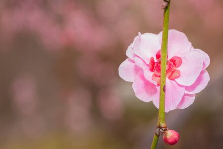 japanese apricot flower: Pink flower ume (Japanese apricot) blossoms on back. Stock Photo