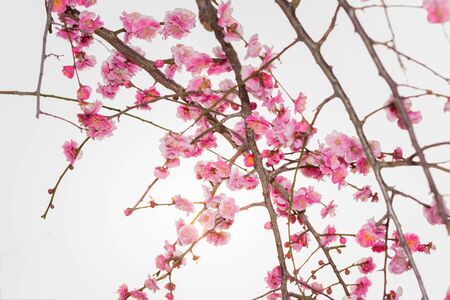 ume: Pink flower ume (Japanese apricot) blossoms on beautiful background Stock Photo
