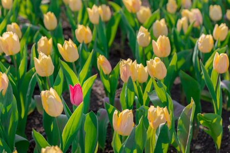 striking: Striking red flowering tulip differs from the many yellow blooming tulips in different color concept. Stock Photo