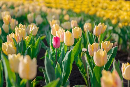 differs: Striking red flowering tulip differs from the many yellow blooming tulips in different color concept. Stock Photo