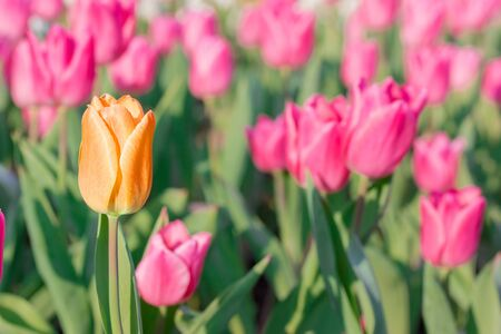 differs: Striking orange flowering tulip differs from the many pink blooming tulips in different color concept.
